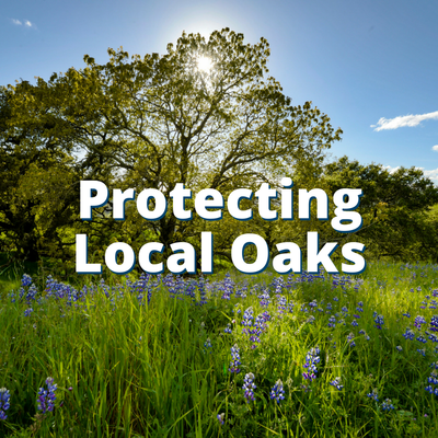 Protecting Local Oaks